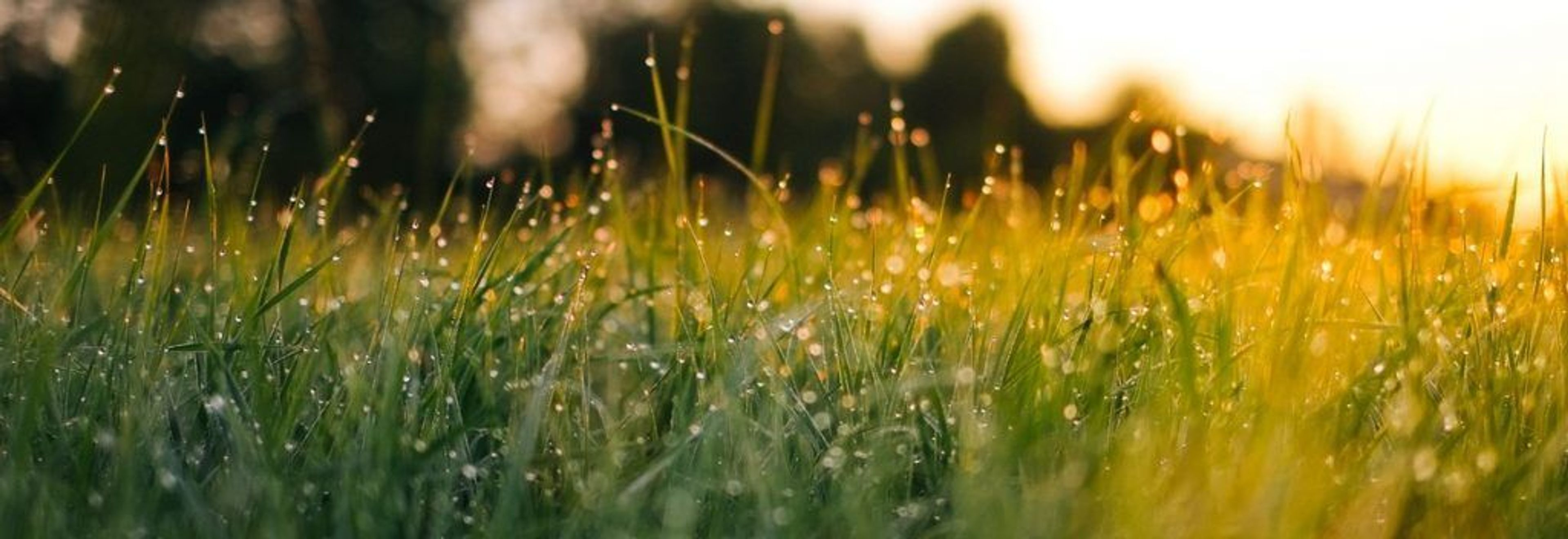 Blades of grass with rain droplets on them